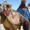 Camels on Bournemouth Beach